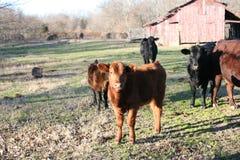 Kühe, die in einer Weide weiden lassen lizenzfreie stockfotografie
