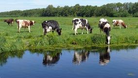 Kühe, die in einer Wiese im grünen Herzen von Holland weiden lassen lizenzfreie stockfotos
