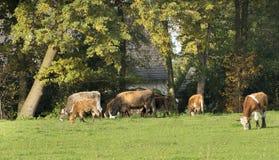 Kühe, die in einer Wiese weiden lassen Lizenzfreies Stockfoto