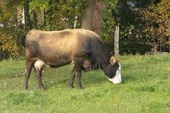 Kühe, die in einer Wiese weiden lassen Stockbilder