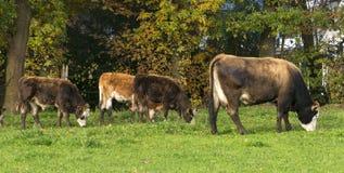 Kühe, die in einer Wiese weiden lassen Stockfotos