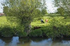 Kühe, die in einer Wiese weiden lassen Stockfoto