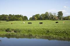 Kühe, die in einer Wiese weiden lassen Lizenzfreie Stockfotos