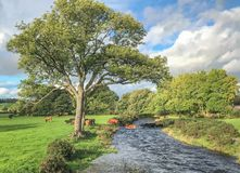 Kühe, die Fluss kreuzen lizenzfreie stockfotos