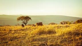 Kühe, die Gras auf der Wiese bei Sonnenuntergang essen stockfotografie