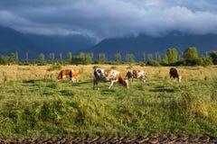 Kühe, die Gras auf einer Wiese essen Stockfotos