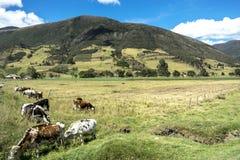 Kühe, die Gras in einem schönen ländlichen Platz essen Stockbilder