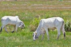 Kühe, die Gras essen Stockbilder