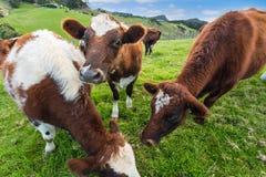 Kühe, die Gras essen stockfotos