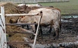 Kühe, die Heu essen Stockfotos