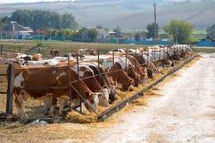Kühe, die Heu essen stockbild