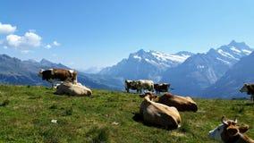 Kühe, die hoch in den Bergen weiden lassen stockfoto