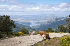 Kühe, die im Berg weiden lassen Stockfoto