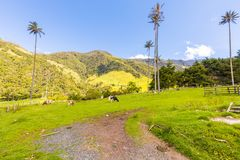 Kühe, die im Cocora-Tal Salento weiden lassen lizenzfreie stockfotos