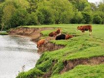 Kühe, die im Fluss-Kai nahe Tadcaster, Yorkshire etwas trinken Lizenzfreie Stockfotos