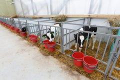 Kühe, die im Großen Kuhstall speisen Lizenzfreies Stockfoto