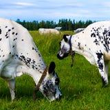 Kühe, die innen weiden lassen Stockfotografie