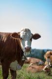 Kühe, die mit Fliegen weiden lassen Lizenzfreie Stockbilder