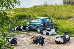 Kühe, die nahe bei dem Auto stillstehen Stockbilder