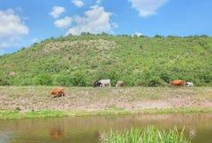 Kühe, die nahe grünem Hügel weiden lassen Stockbild