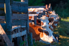 Kühe, die Silage von ihren Zufuhren essen Lizenzfreie Stockfotografie