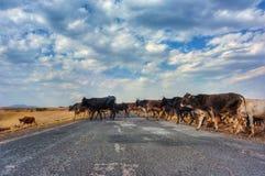 Kühe, die Straße kreuzen Lizenzfreie Stockfotografie