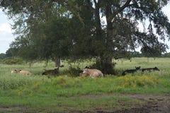 Kühe, die unter Baum einstellen Lizenzfreie Stockfotos