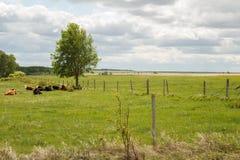 Kühe, die unter Baum legen Stockfotos