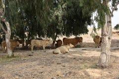 Kühe, die unter Baum restting sind Stockfotografie