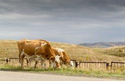Kühe, die unter stürmischem Himmel weiden lassen Stockfoto