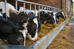 Kühe, die von einer Metalabflußrinne speisen Lizenzfreies Stockbild
