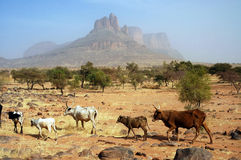 Kühe, die vor Bergen gehen Lizenzfreies Stockbild
