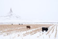 Kühe, die vor Kamin-Felsen-nationaler historischer Stätte weiden lassen stockfoto