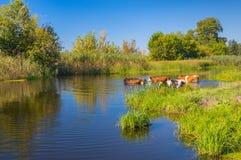Kühe, die Wasserbehandlung im ukrainischen Fluss Merla des Sommers haben stockbilder