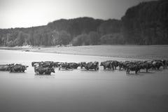 Kühe, die weg im Fluss abkühlen lizenzfreie stockbilder
