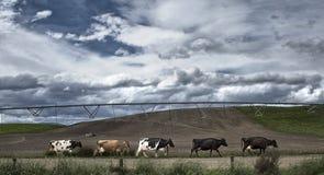 Kühe, die zur Milchhalle gehen Stockfoto