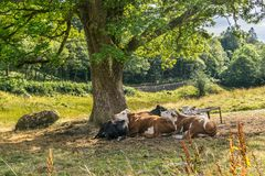 Kühe, die zusammen unter einem Baum schützen stockfoto