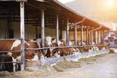 Kühe in einem Bauernhofkuhstall Stockfotos