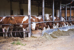 Kühe in einem Bauernhofkuhstall Stockbilder