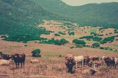 Kühe in einem wilden Tal Lizenzfreie Stockbilder