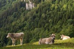 Kühe in einer Alpenwiese Lizenzfreie Stockfotos