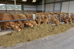 Kühe in einer Scheune lizenzfreies stockbild