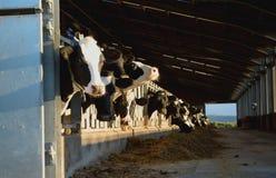 Kühe in einer Scheune stockfotos