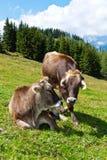 Kühe in einer Weide auf dem Berg Stockbild