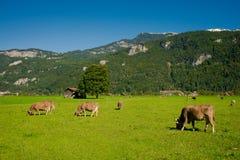 Kühe in einer Wiese Stockfotografie