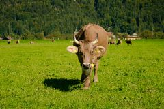 Kühe in einer Wiese Lizenzfreies Stockbild