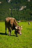 Kühe in einer Wiese Lizenzfreies Stockfoto