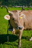 Kühe in einer Wiese Lizenzfreie Stockfotos