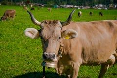 Kühe in einer Wiese Stockbild