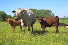 Kühe in einer Wiese Stockbilder